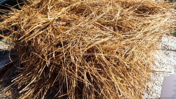 Pine Straw scaled