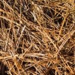 Pine straw closeup