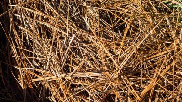 Pine straw closeup scaled